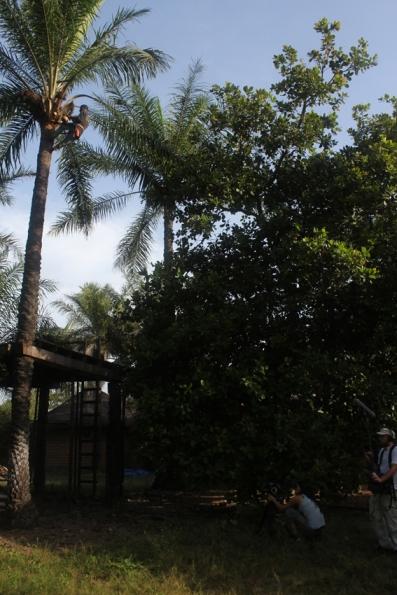 No hi ha Kásuumaay sense ví de palmera. Foto: C.B.E.